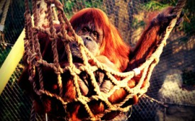 4-orangutan-color-edited-350